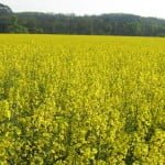 Nope, this is not a canola field. It is rapeseed. Theres no such thing as a canola field!