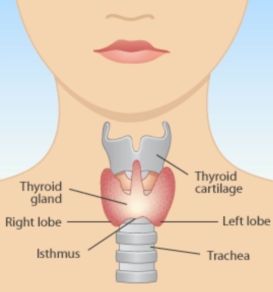 all about the thyroid: hypothyroidism - mary vance, nc, Human Body