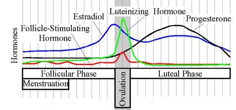 estradiol_cycle